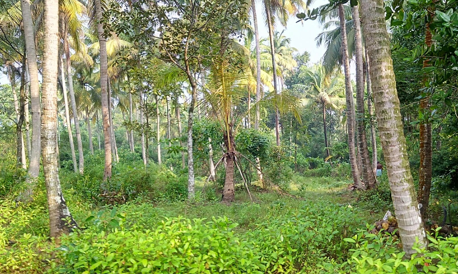 kerala and coconut trees It depends on the conditions where you plant the tree normally, in kerala, one coconut tree yields around 80–100 coconuts per year and the income depends on the market rate.