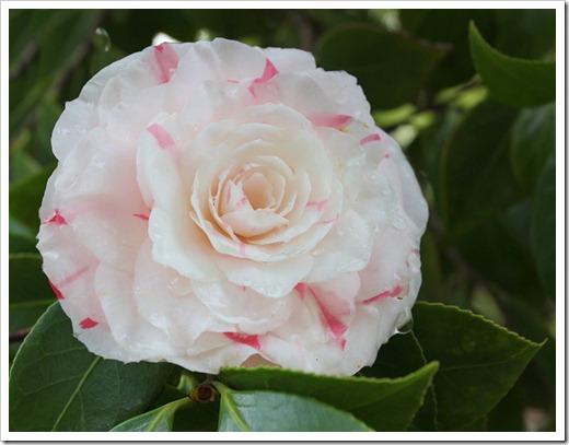 120317_Capitol_Park_Camellia-japonica_16