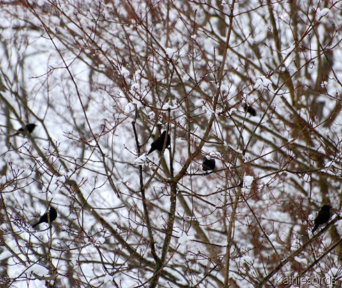 7. grackles-kab