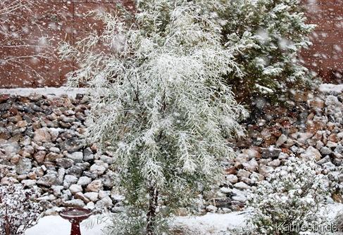 6. willow acacia tree-kab