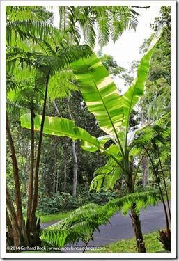 140805_Hawaii_BananaAeAe_026