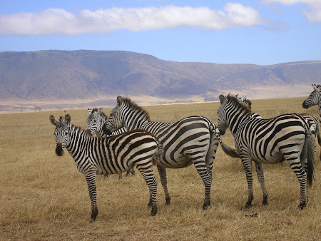 Africa safari: Zebras in Ngorongoro