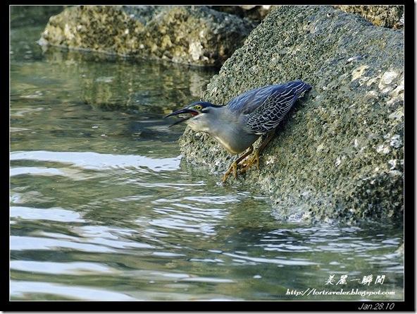 綠簑鷺(2010-01-27)4516