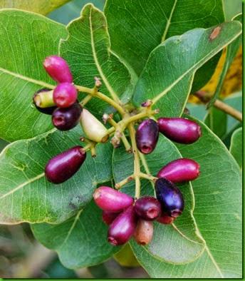 Syzygium cordatum 1