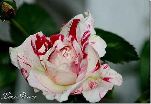 Rose_Senimental
