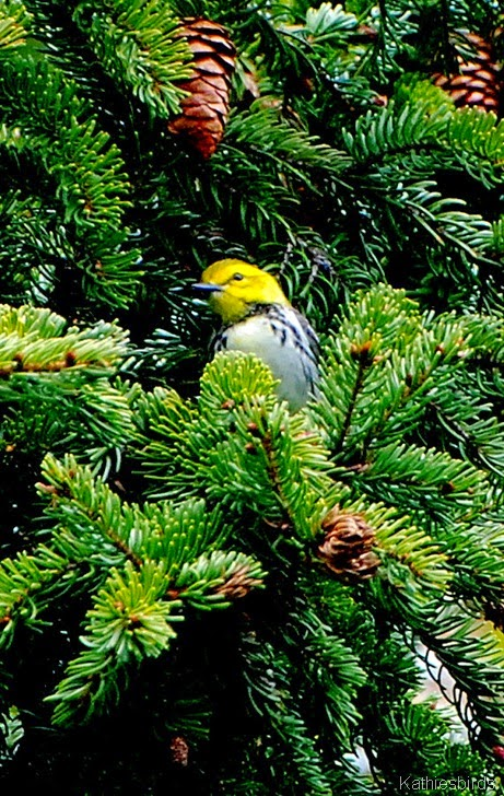 8. black-throated green warbler-kab