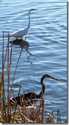 Great Egret and Blue Heron posing