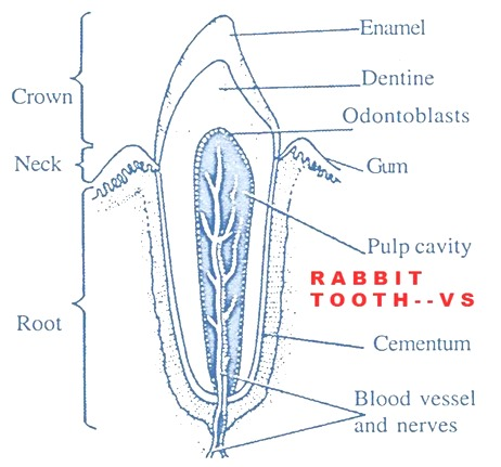 tooth-rabbit