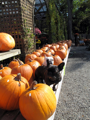 Wow! Franny, they sure have a lot of pumpkins here.