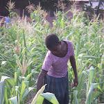 watering corn.jpg