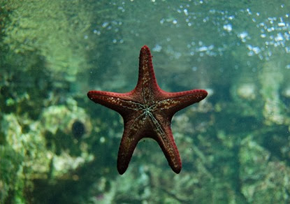 Amazing Pictures of Animals, Photo, Nature, Incredibel, Funny, Zoo, Starfish, Sea Stars, Asteroidea, Alex (9)