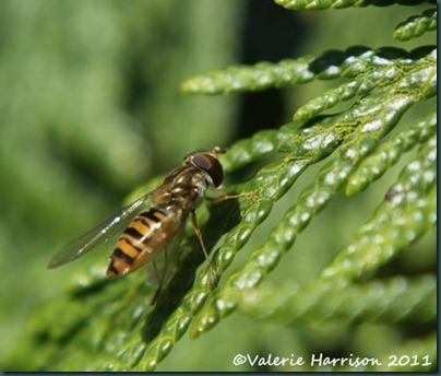 hoverfly-pos-Episyrphus-balteatus