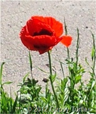 Poppy growning on the side of the street downtown