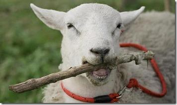 kambing berlagak anjing 1