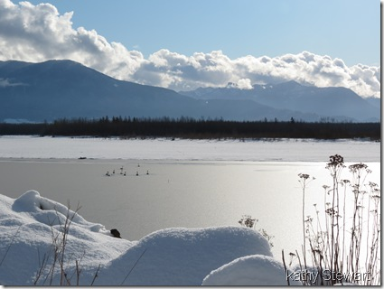 Swans on the Frozen Fraser River