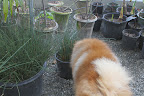 These pots of equisetum, or horsetail, are thriving.