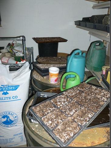 planting Geraniums