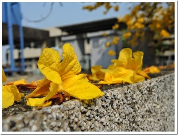 黃花風鈴木在嘉義榮總