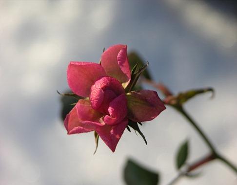 1 rosen blommar