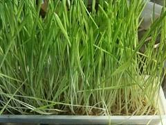 l'herbe d'orge
