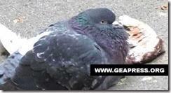 20140311_piccione