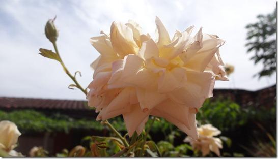 flor-flores-rosas-imagens250