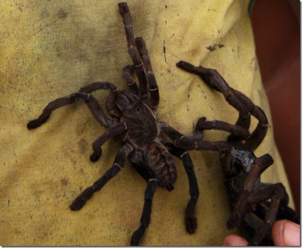 spider-food-cambodia-7