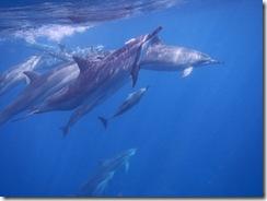 ハワイ島ドルフィン