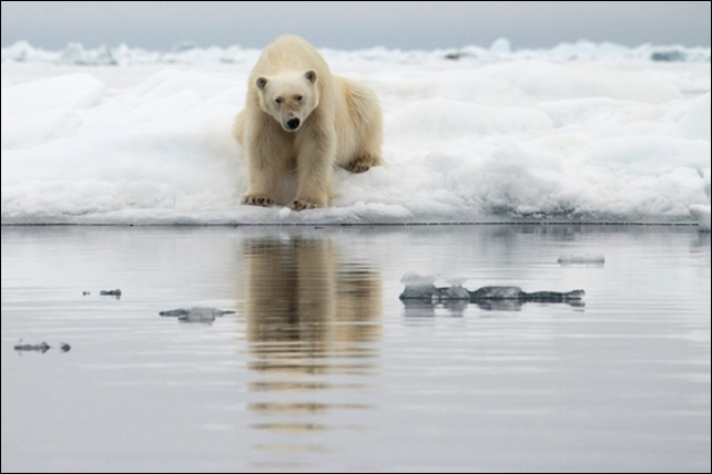 A polar bear is perched on the edge of an ice floe. While watching a polar bear gorging on birds' eggs high on the cliffs, due to lack of ice and opportunity to fish, the effects of climate change hit home. 'It's painful to see the devastation,' Seaman says. 'To know what is being lost, and what we may not get back.' Photo: Camille Seaman