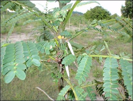 hama-ulat-kantong-pada-tanaman-albasia