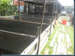 kolam kanvas ikan keli - http://kelisabah.blogspot.com