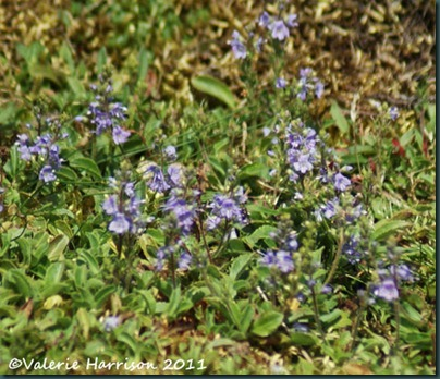 14-common-speedwell