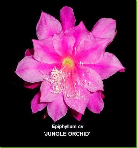 JUNGLE ORCHID Epiphyllum hybrid