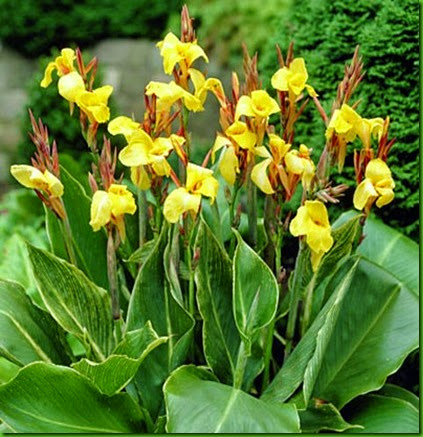 Canna indica Stripped Beauty