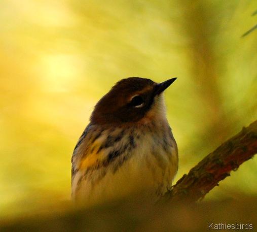 4. yellow-rumped warbler-kab