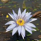 angkorsite_flower_1 (11).jpg