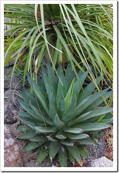110916_Agave-Blue-Glow