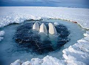 Amazing Pictures of Animals, photo, Nature, exotic, funny, incredibel, Zoo, Beluga or White Whale, Delphinapterus leucas, Alex (13)