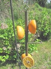 oriole dowel feeder1