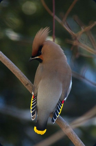 Amazing Beauty of Waxwing Birds7