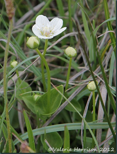 16-Grass-of-parnassus