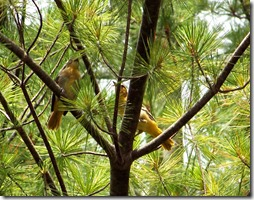 female Oriole with young