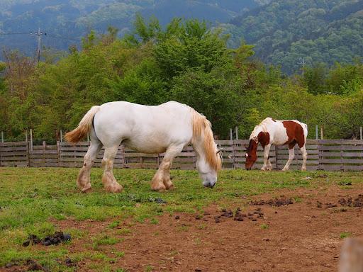 [写真]やたら脚が太い馬たち。農耕馬?