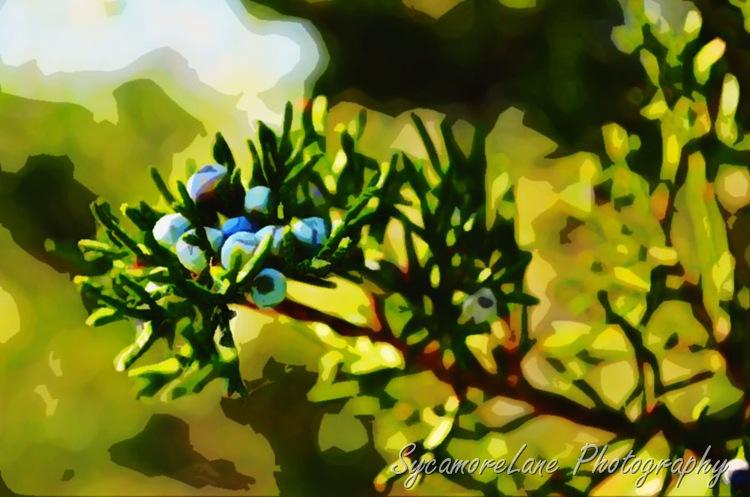 Watercolor juniper berries-w