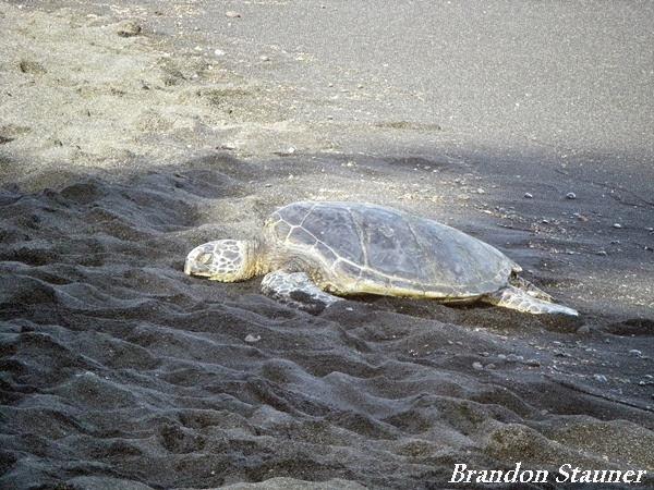 Hawaii-Turtle