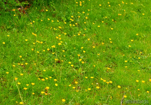 2. buttercups-kab