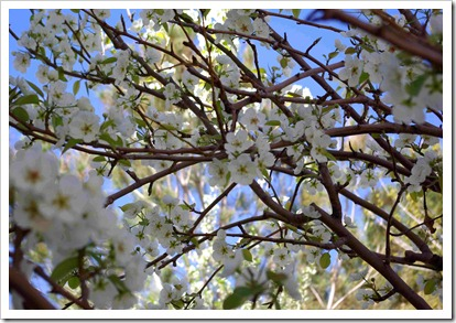 White Blossoms 2