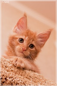 Фото история котят мейн кун в возрасте 7,5 недель 20