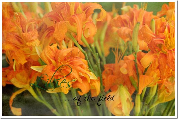 lilies sz 074