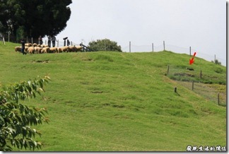清境農場-綿羊秀